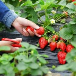 Σπόροι Φράουλα CLERY 2 - 2