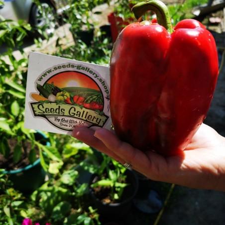Rote Riesen Monster Paprika Samen 1.85 - 2