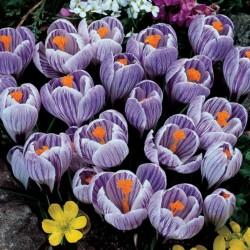 Bulbos de Crocus holandés...