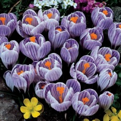 "Crocus hollandais géant ""Pickwick"" - bulbes 3.5 - 2"