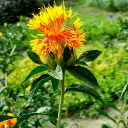 Safflower Seeds (Carthamus...