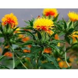 Safflower Seeds (Carthamus tinctorius) 1.95 - 3
