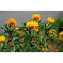 Safflower Seeds (Carthamus tinctorius) 1.95 - 7