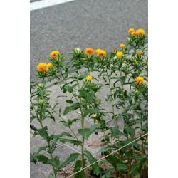 Safflower Seeds (Carthamus tinctorius) 1.95 - 8