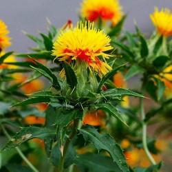 Safflower Seeds (Carthamus tinctorius) 1.95 - 11