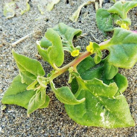 New Zealand Spinach Seeds (Tetragonia tetragonoides) 1.85 - 2