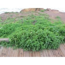 Semillas de Espinaca de Nueva Zelanda (Tetragonia tetragonioides) 1.85 - 3