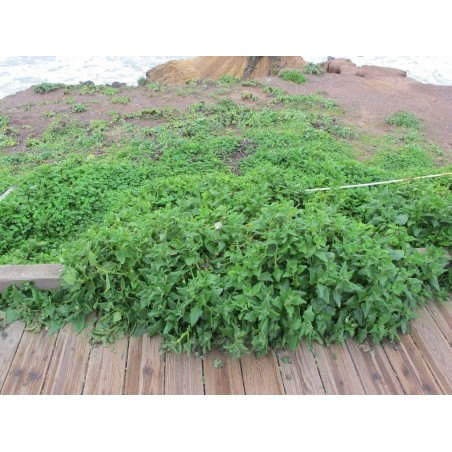 New Zealand Spinach Seeds (Tetragonia tetragonoides) 1.85 - 3