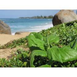 New Zealand Spinach Seeds (Tetragonia tetragonoides) 1.85 - 4