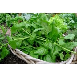 New Zealand Spinach Seeds (Tetragonia tetragonoides) 1.85 - 5