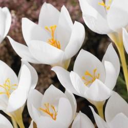 Weiß Krokus - zwiebeln 3.5 - 2