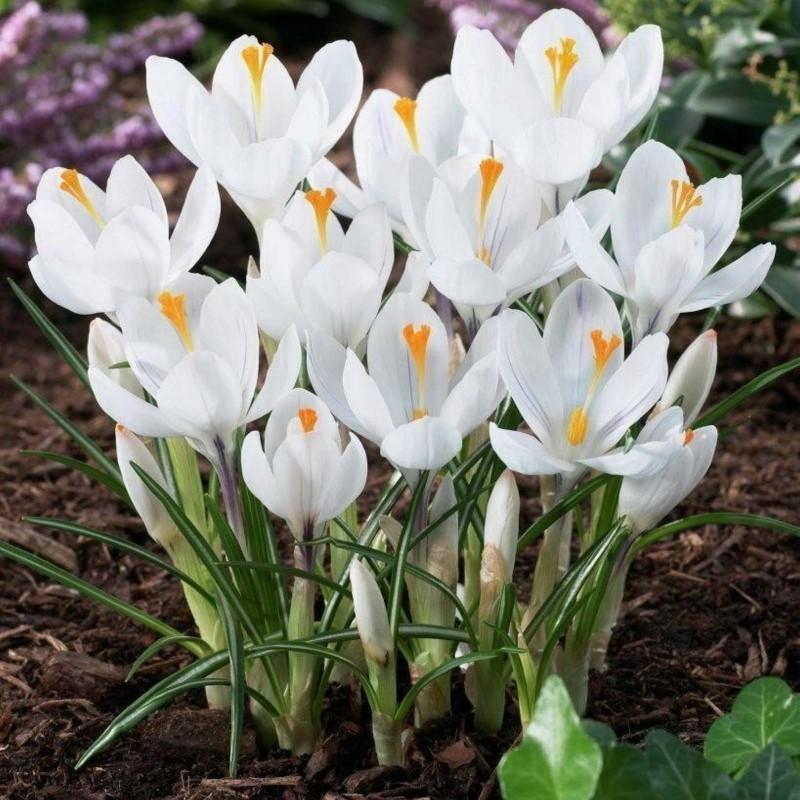 White Crocus bulbs 3.5 - 1