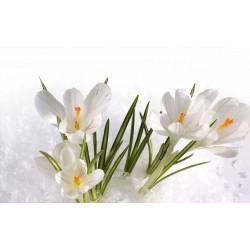 Weiß Krokus - zwiebeln 3.5 - 3