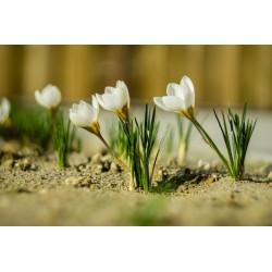 White Crocus bulbs 3.5 - 4