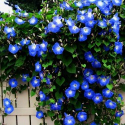 Grannyvine or Morning Glory Seeds 1.95 - 1