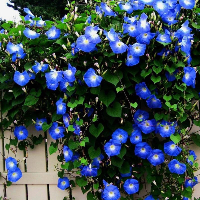 Himmelblaue Prunkwinde Samen (Ipomoea tricolor) 1.95 - 1