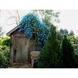 Himmelblaue Prunkwinde Samen (Ipomoea tricolor) 1.95 - 4