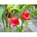 Semi di Pitahaya rossa