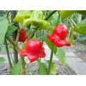 Semillas de Pimiento Chili Bishops Crown