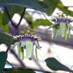 Passionsblume Samen (Passiflora colinvauxii) 1.85 - 1