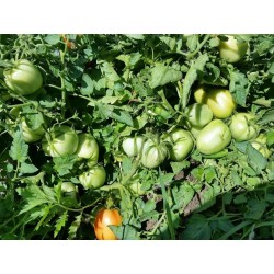 Semillas de tomate Alparac - Variedad de Serbia 1.95 - 3