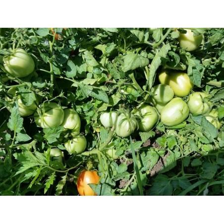 Graines de Tomate Alparac - Variété de Serbie 1.95 - 3