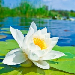 Sementes Waterlily branco europeu (Nymphaea alba) 1.95 - 1
