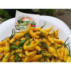 Graines De Piment Yellow Pointy 1.75 - 4