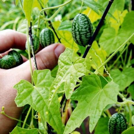 Mexikanische Minigurke Cucamelon Samen 1.85 - 2