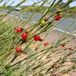 Graines de Exocarpus sparteus
