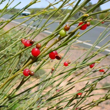 Sementes de Exocarpus sparteus