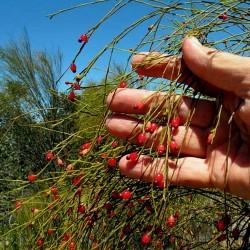 Δακρύζει κεράσι Σπόροι (Exocarpos sparteus) 2 - 2