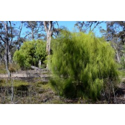 Sementes de Exocarpus sparteus 2 - 5