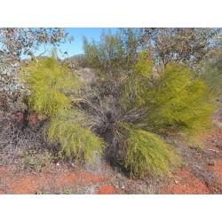 Graines de Exocarpus sparteus 2 - 4