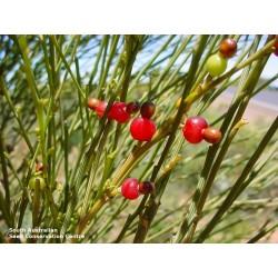 Δακρύζει κεράσι Σπόροι (Exocarpos sparteus) 2 - 6