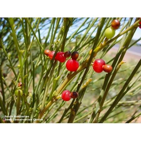 Japanische Kirschblüte Samen 2 - 6