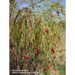 Δακρύζει κεράσι Σπόροι (Exocarpos sparteus) 2 - 7