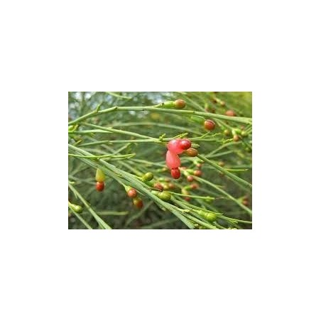 Weeping Cherry Seeds 2 - 9