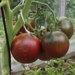 Zigan (Zigeuner, Gipsi) Tomaten Samen 1.65 - 1