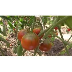 Cigan  - Ciganski Paradajz Seme 1.65 - 6