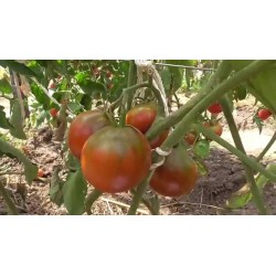 Zigan (Zigeuner, Gipsi) Tomaten Samen 1.65 - 6