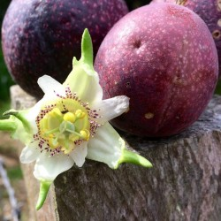 Passiflora adenopoda frön 1.85 - 1