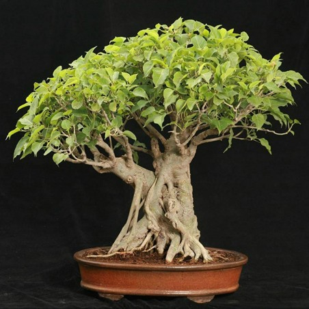 Graines de Figuier des pagodes (Ficus religiosa)