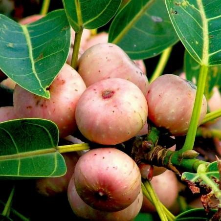 Graines de Figuier des pagodes (Ficus religiosa) 2.45 - 2