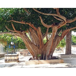 Sementes de Figueira-Religiosa (Ficus religiosa) 2.45 - 3