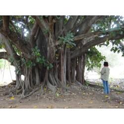 Semillas de Árbol de Bodhi - Bodh Gaia (Ficus religiosa) 2.45 - 4