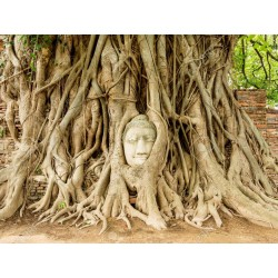 Graines de Figuier des pagodes (Ficus religiosa) 2.45 - 5
