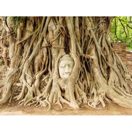 Buddha Baum - Pappel Feige Samen (Ficus religiosa) 2.45 - 5