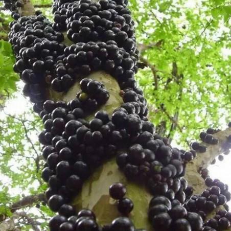 Jaboticaba - Brasilianische Traube Samen (Myrciaria cauliflora) 6.5 - 2