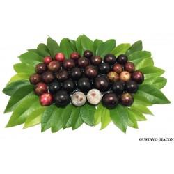 Brazilian Grapetree, Jabuticaba Seeds (Plinia cauliflora) 6.5 - 10
